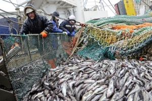 PCA summarizes results of observer program progress for the Sea of Okhotsk pollock fishery in 2020