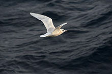 PCA launched research program on sea birds and mammals by-catch in the Sea of Okhotsk mid-water trawl Pollock fishery